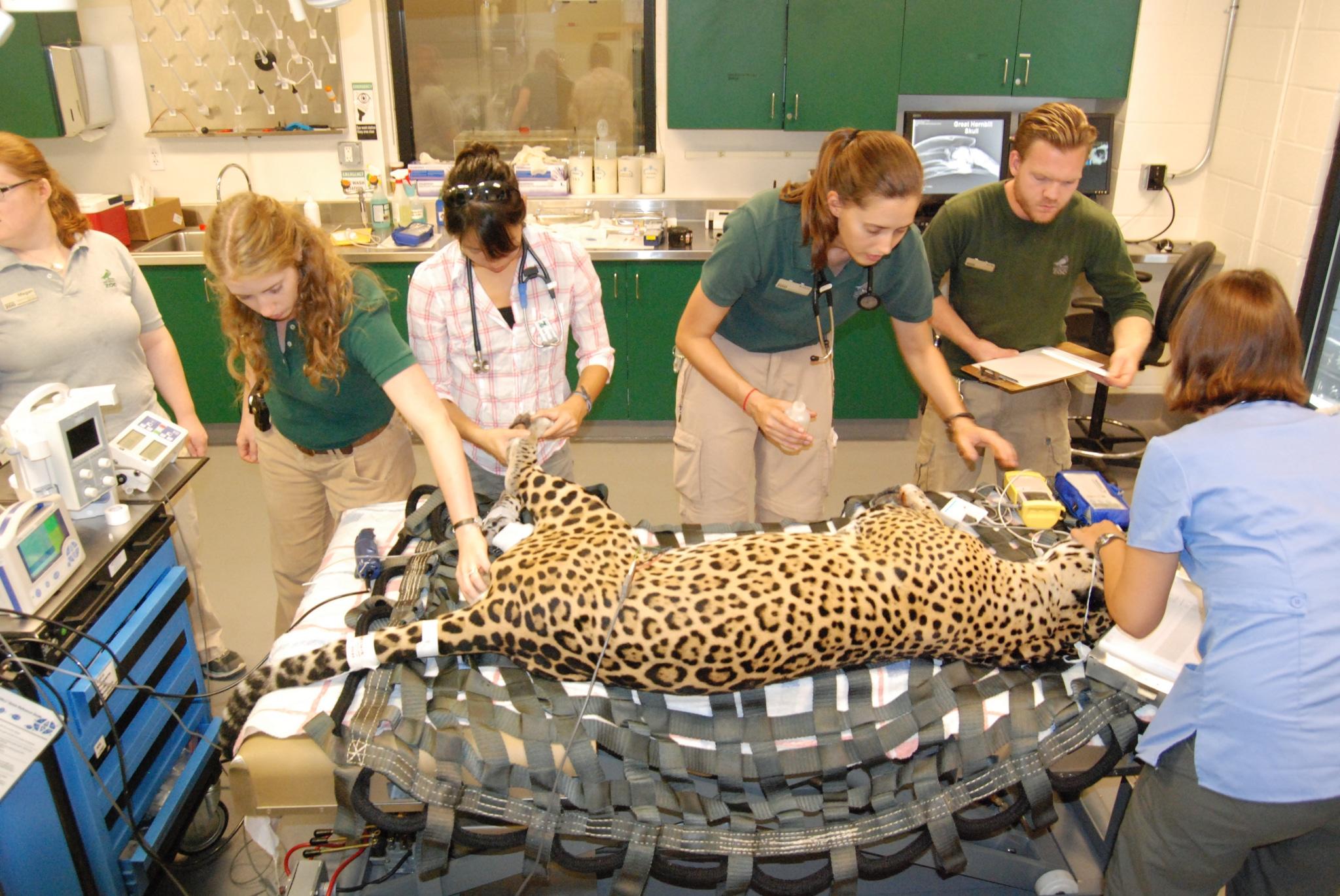 Jaguar Exam - Photo by Tonja Candelaria